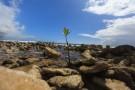 germ mangrove